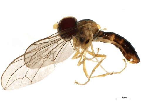 Image of big-headed flies