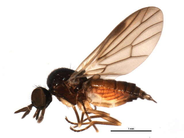 Image of unclassified Diptera