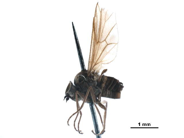 Image of hilarimorphid flies