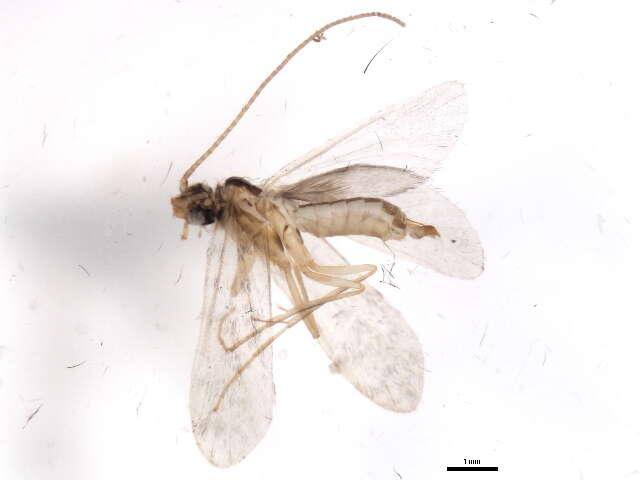 Image of Brevitentoria
