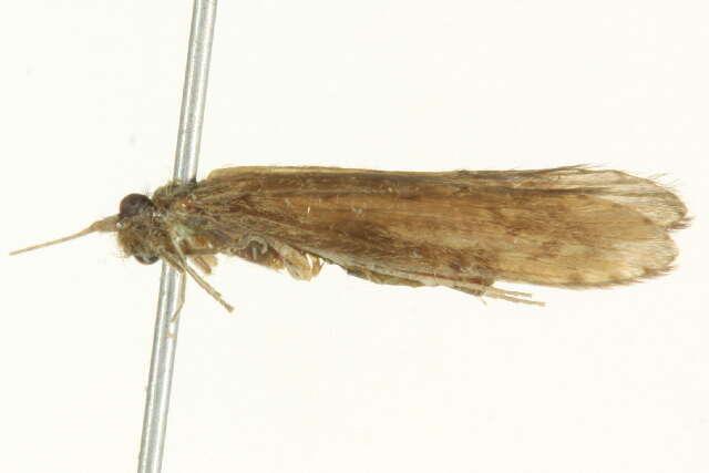 Image of caddisflies