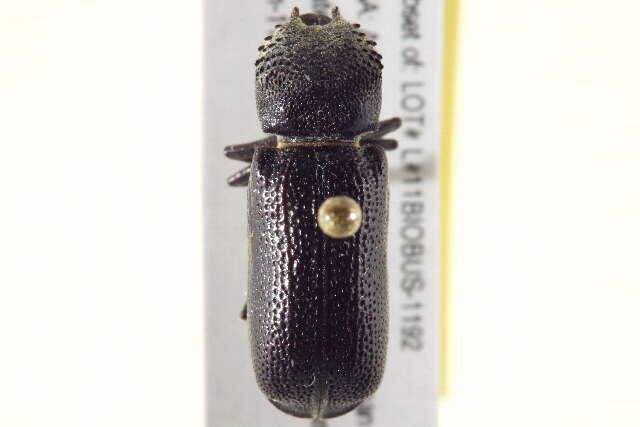Image of Bostrichiformia