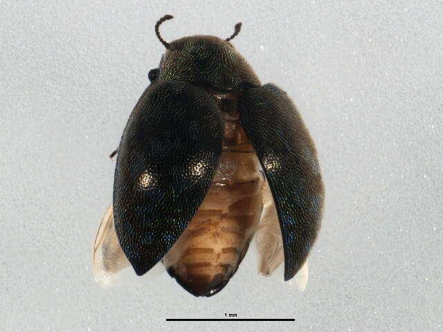 Image of Byrrhoidea