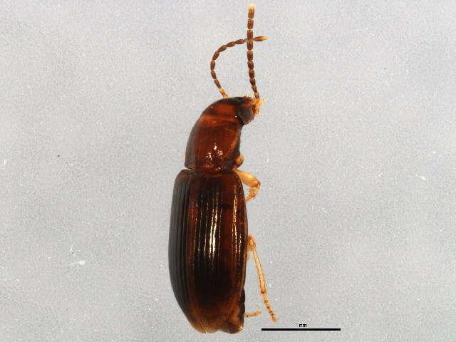 Image of Bradycellus