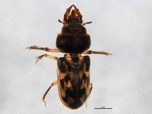 Image of Elateriformia