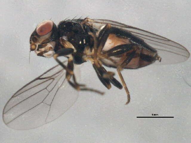 Image of Fiebrigella