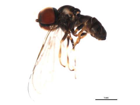 Image of Pipunculinae