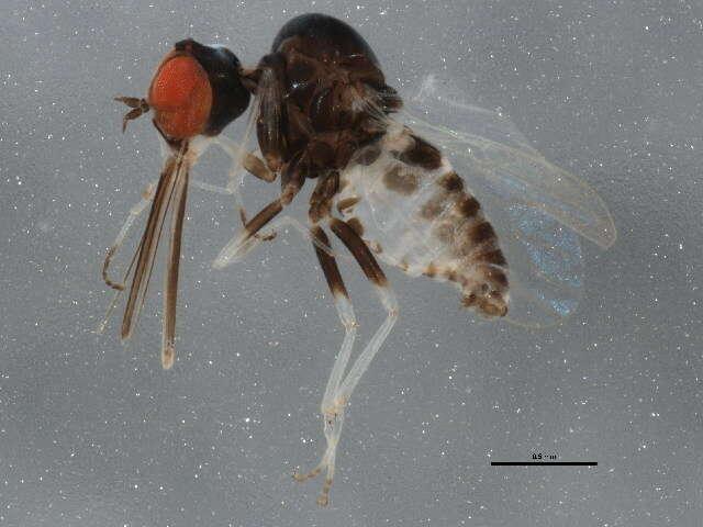 Image of Asiloidea