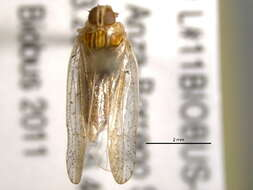 Image of cixiid planthoppers