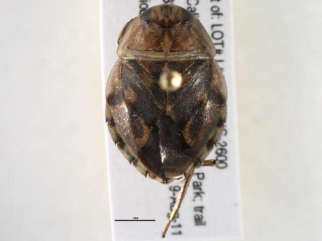 Image of Naucoroidea