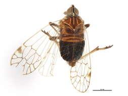 Image of kinnarid planthoppers