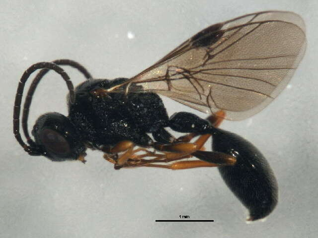 Image of helorids