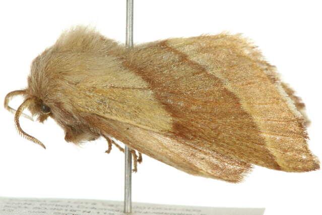 Image of Lasiocampoidea
