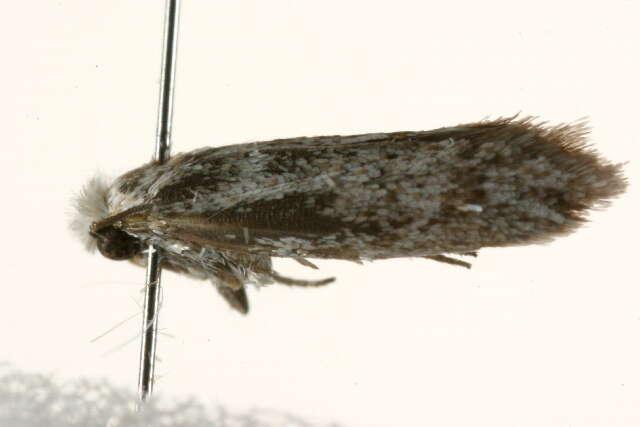 Image of Incurvariina