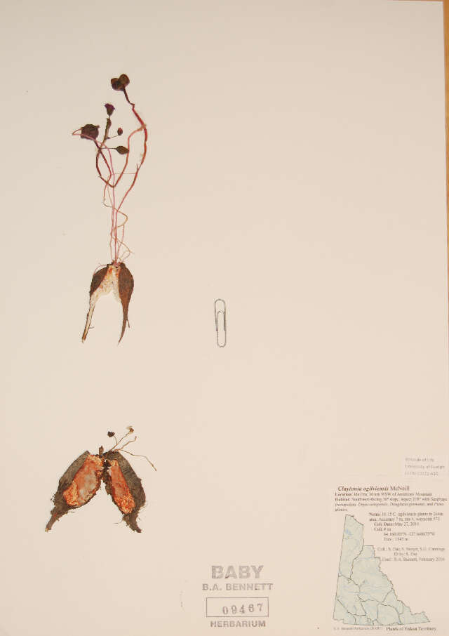 Image of Ogilvie Mountain springbeauty