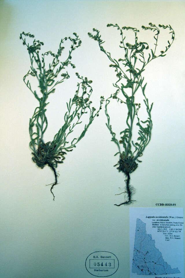 Image of stickseed