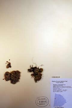 Image of Saxifragales