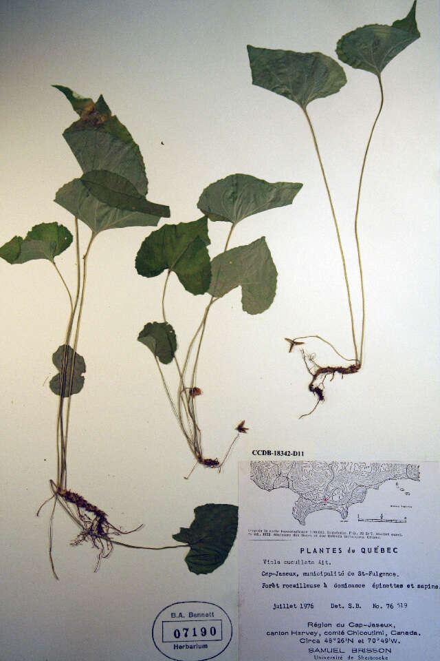 Image of Eudicots