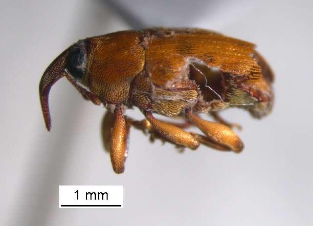 Image of weevils