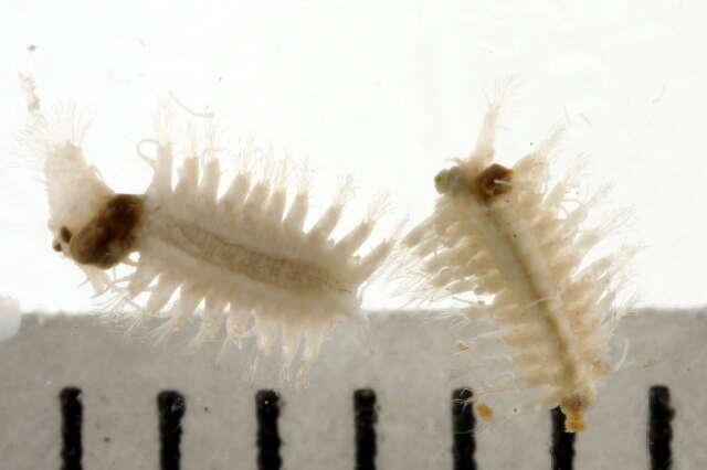 Image of Hesionidae