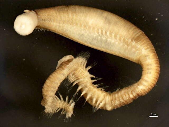 Image of Errantia