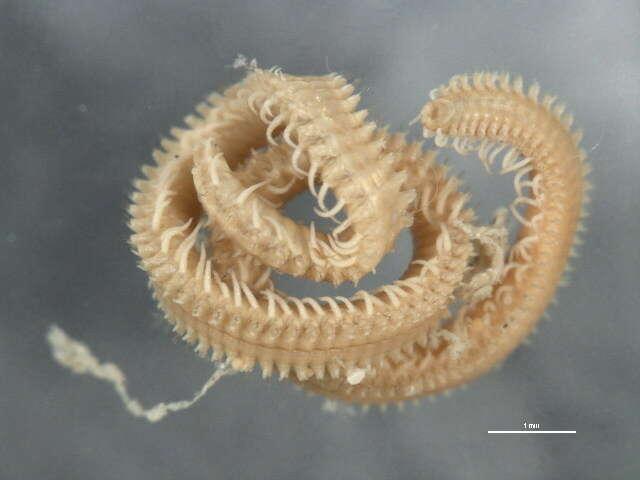 Image of Phyllodocida