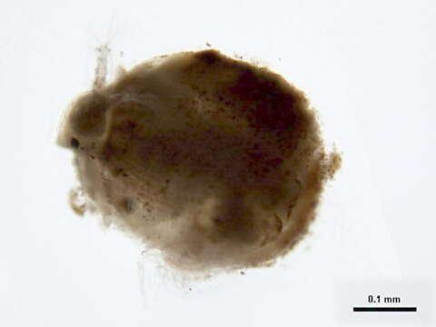 Image of Ilyocryptidae