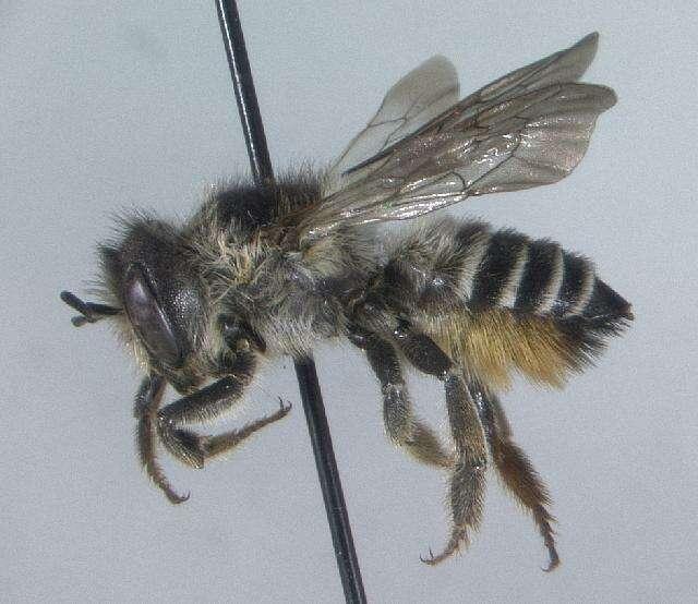 Image of <i>Megachile lapponica</i> Thomson 1872