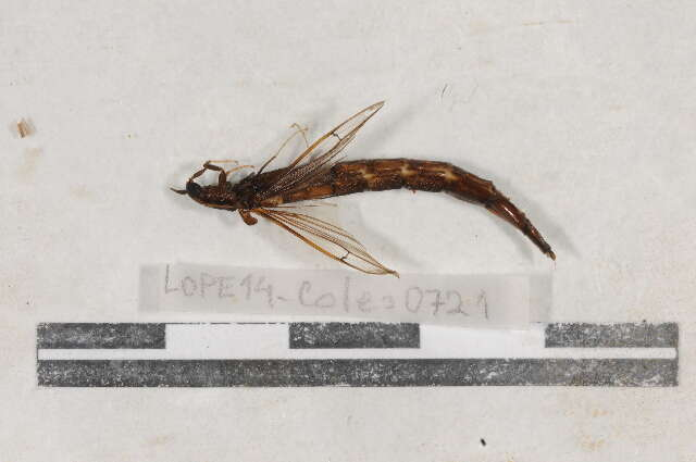 Image of Lymexyloidea