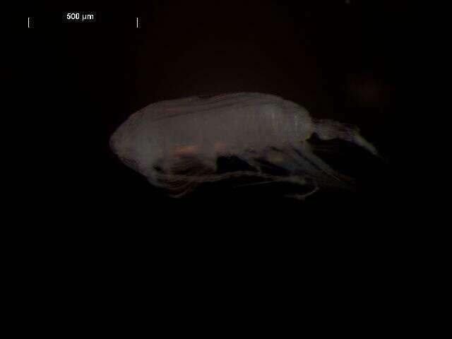 Sivun Multicrustacea kuva