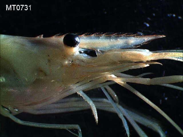 صورة Multicrustacea