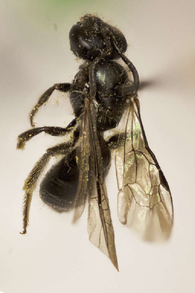 Image of sweat bees