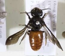 Image of leaf-cutter bees, mason bees, and relatives