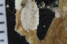Image of Schizoporelloidea