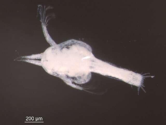 Image of Euphausiacea