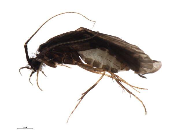 Image of Phryganeoidea