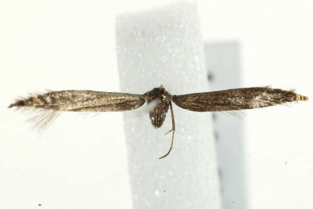 Image of Coleophora