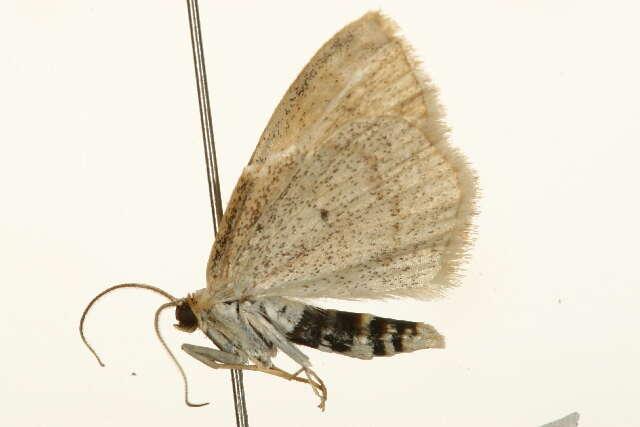 Image of Geometroidea