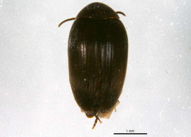 Image of Plate-thigh and Marsh Beetles