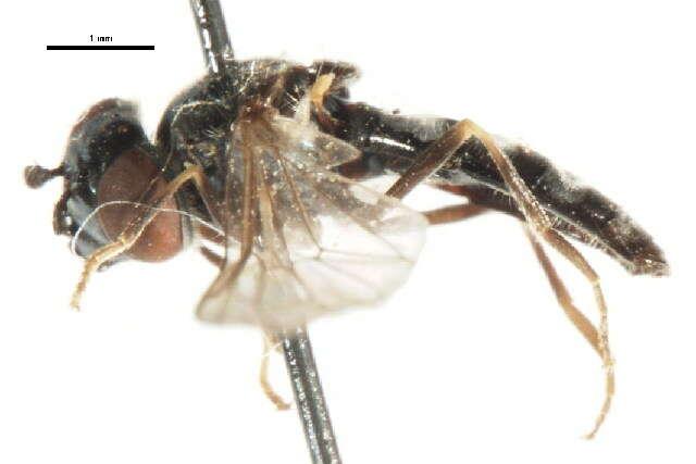 Image of Platycheirus