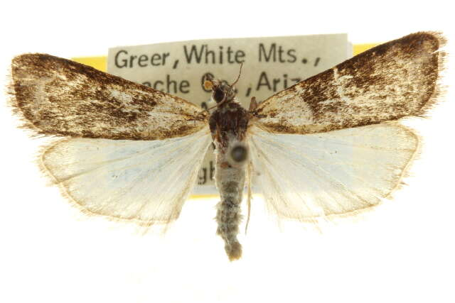 Image of Pyralid and Crambid Snout Moths
