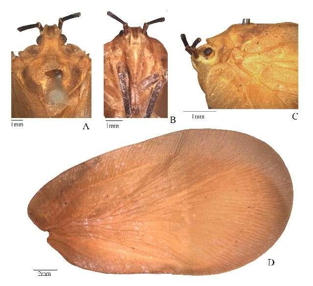 Image of flatid planthoppers