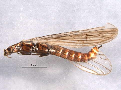 Image of Perloidea