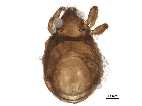 Image of oribatid mites