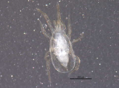 Image of Phytoseiidae