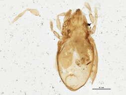 Image of Liebstadiidae