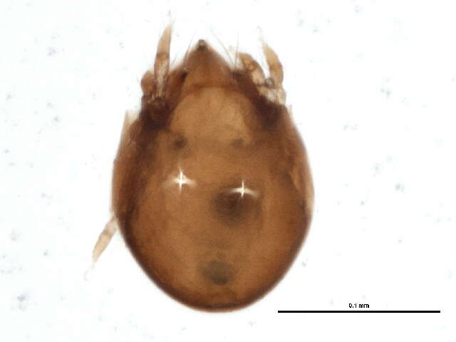 Image of Chamobatidae