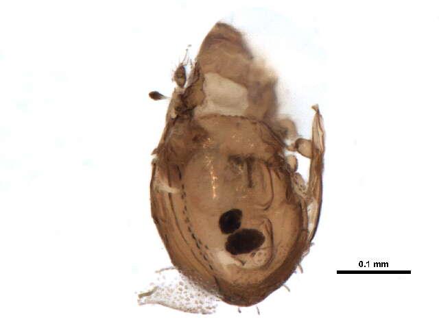 Image of Ameroidea