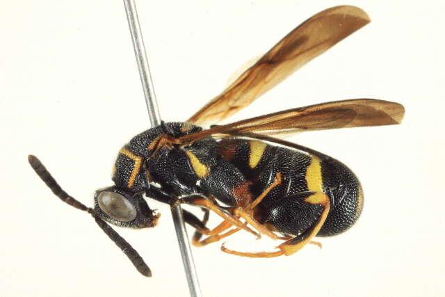 Image of Chalcid wasp