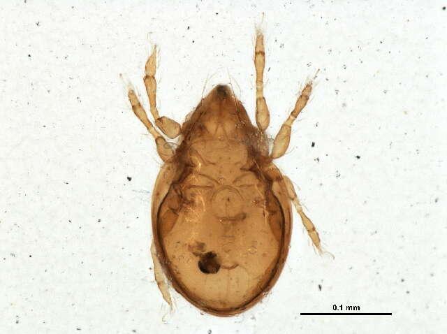 Image of Hemileiidae